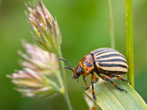 Leptinotarsa decemlineata 1. Colorado beetle (Leptinotarsa decemlineata) climbing through the vegetation royalty free stock photos