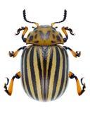 Leptinotarsa decemlineata. Beetle Leptinotarsa decemlineata on a white background stock images