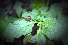 Leptinotarsadecemlineata - de keverspecies van het aardappelblad van insecten van de familie van bladkevers De kevers en de larve stock afbeelding