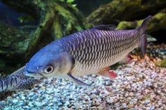 Leptobarbus Fish Royalty Free Stock Images