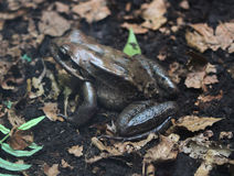 Free Leptodactylus Fallax Royalty Free Stock Photography - 94878937