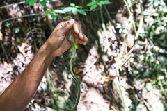 Leptodrymus pulcherrimus,绿色带头的竟赛者或Corredora verde蛇 有绿色头和盯梢黑的条纹从眼睛和 免版税库存照片