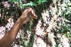 Leptodrymus pulcherrimus, Zielonogłowy setkarz lub Corredora verde wąż, Zieleni czerni i głowy lampasy od oczu ogon i Zdjęcia Royalty Free
