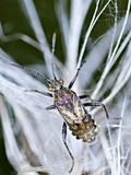 Leptoglossusoccidentalis Arkivbild