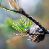 leptolepis larix конусов ветви Стоковое Изображение RF