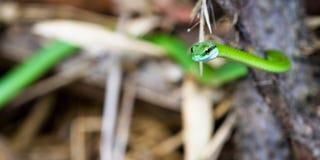 Leptophis ahaetulla or Parrot snake Stock Photo