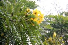 Leptophylla της Cassia, χρυσό δέντρο μενταγιόν Στοκ εικόνα με δικαίωμα ελεύθερης χρήσης