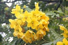 Leptophylla кассии, дерево медальона золота Стоковые Изображения