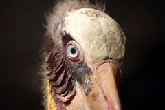 Leptoptilos javanicus bird. Head of leptoptilos javanicus bird Royalty Free Stock Images