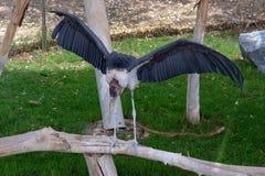 Leptoptiloscrumeniferus die van de maraboeooievaar zijn vleugels uitspreiden royalty-vrije stock afbeelding