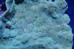 Leptoseris Coral. Detailed image of green leptoseris coral underwater Stock Photography