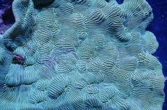 Leptoseris korall Arkivbild