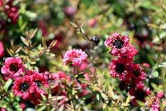 Leptospermum, конец-вверх цветка завода орнаментального сада Стоковые Изображения RF