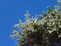 Leptospermum covered in white flowers. An Australian manuka tree is covered in white blossoms, stark against a clear blue spring sky. A solitary insect is stock image