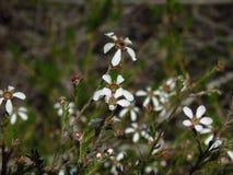 Leptospermum omwikkelt omhoog het licht Royalty-vrije Stock Foto's