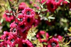 Leptospermum, primo piano del fiore della pianta del giardino ornamentale Fotografia Stock