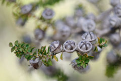 Leptospermum scoparium plant Stock Image