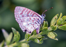Leptotes cassius Stock Photography
