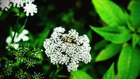 Leptura maculata na umbelifer Zdjęcie Stock