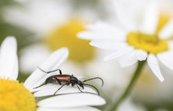 Leptura melanura. Hanging on flower Stock Images