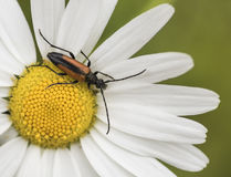Leptura melanura. Hanging on flower Royalty Free Stock Photography