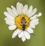 Leptura melanura. Hanging on flower Stock Image