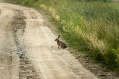 Lepus europaeus royalty free stock images