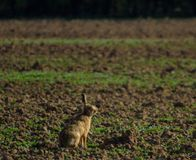 Hare or Lepus. Lepus or Hare sitting on an arable field in the fens of Norfolk in the UK royalty free stock images