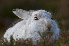 Lepus Timidus зайцев горы Стоковая Фотография