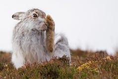 Lepus Timidus холить зайцев горы Стоковое Изображение