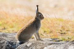 Lepus timidus. Mountain hare close-up in summer pelage, sits on the stones under the sunlight. The mountain hare Lepus timidus, also known as blue hare, tundra royalty free stock photos