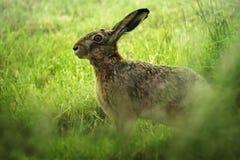 Lepuseuropaeus för europeisk hare på en grön äng, på grund av den Arkivfoto