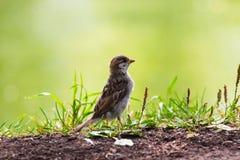 Lera-färgad Sparrow som går i gräset. Arkivbilder