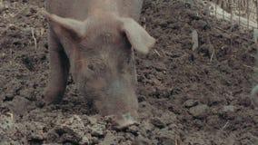 lerig pig stock video