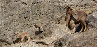 Lervia Ammotragus - πρόβατα Βαρβαρίας - οικογένεια σε έναν βράχο στοκ εικόνες