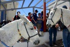 Les ânes blancs amènent des personnes dans Santorini photo stock
