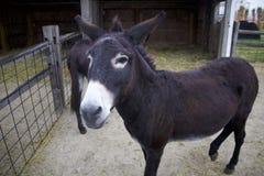 Les ânes clôturés saluent des invités et l'espoir de parc animalier pour une poignée de festins savoureux de maïs Photographie stock libre de droits