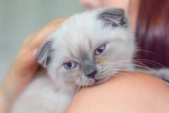 Les écossais gris de chaton se plient sur l'épaule d'une femme images libres de droits