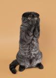 Les écossais noirs de fumée plient le chaton sur le fond brun clair Photographie stock