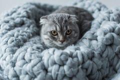 Les écossais pelucheux plient le chat se trouvant sur la couverture de laine dans la chambre à coucher Photographie stock libre de droits