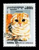 Les écossais plient le catus de silvestris de Felis, serie de chats domestiques, vers 1997 Images stock