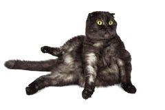 Les écossais plient le chat, avec les yeux jaunes, dans diverses poses, d'isolement sur le fond blanc photos stock