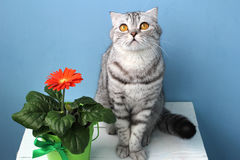Les écossais plient le chat et une fleur dans un pot Photo libre de droits