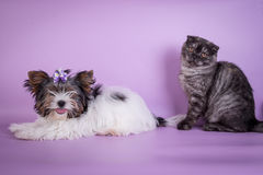 Les écossais se plient et la petite couleur mignonne de fumée de noir de chaton de 4 monts de petit chien Image stock