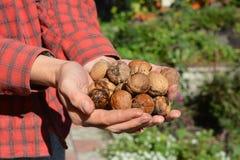 Les écrous mûrs frais moissonnent dans des mains de jardinier photographie stock