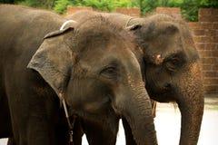 Les éléphants Images stock