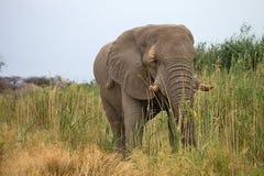 Les éléphants africains masculins solitaires alimentent sur des roseaux, Etosha, Namibie Photo libre de droits
