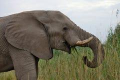 Les éléphants africains masculins solitaires alimentent sur des roseaux, Etosha, Namibie Images libres de droits