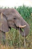 Les éléphants africains masculins solitaires alimentent sur des roseaux, Etosha, Namibie Image stock