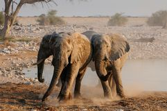 Les éléphants africains ont un disput, nationalpark d'etosha, Namibie Photos stock